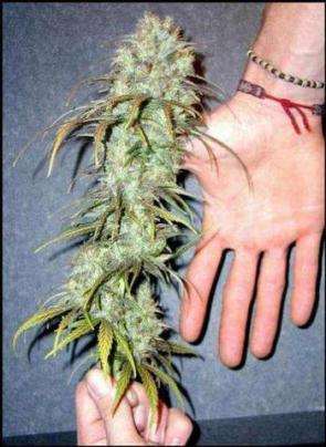 Weed As HUGE AS YOUR HAND