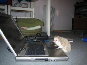 Lappy Hedgehog
