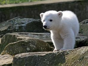 Polar Bear Cuteness