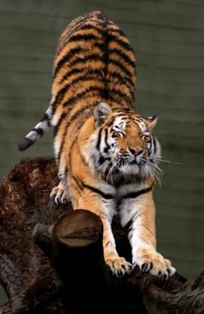 Streching Tiger