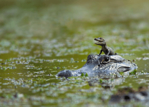 Baby Gator On Mom's Head