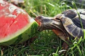 Do Turtles Eat Watermellon?