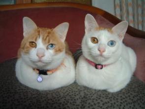 Desu Cats