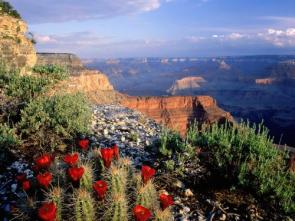Grand Canyon Red Flowers Wallpaper