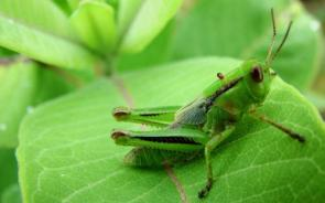 Green Grasshopper Wallpaper