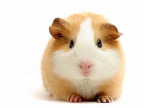 guinea pig wallpaper