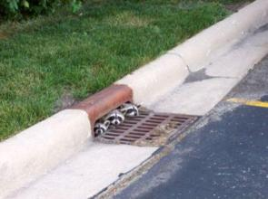 Racoons In A Sewer