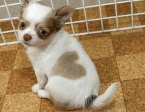 Puppy with two hearts