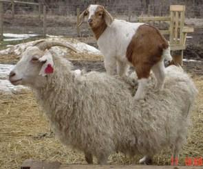 goatsurfing.jpg