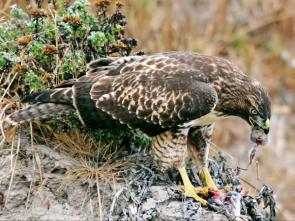 Hawk Eating Prey