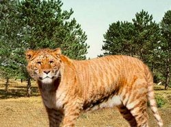 Watch out it's a liger