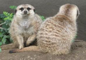 Meerkat Security – You watch my back, and I'll watch yours…