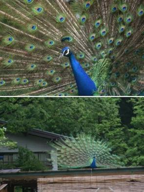 This is a Peacock