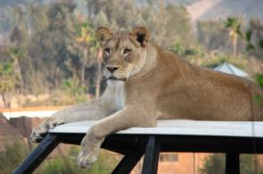 Lion On Top Of Car