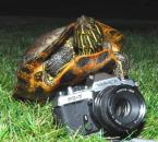 Turtle photographer
