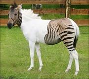 Zebula-Freaky Half breed