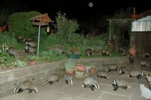 Badgers Badgers Badgers
