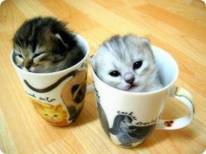 kitty kat kup
