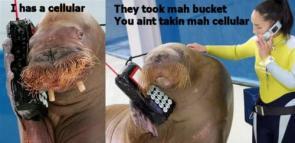 Walrus – I Has a cellular