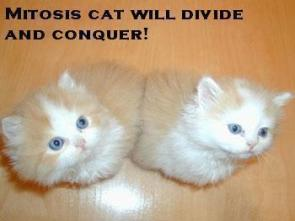 Mitosis Cat will divide and conquer!