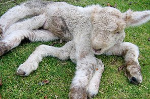 Lamb with Seven Legs