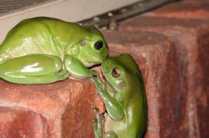 Froggy Kiss