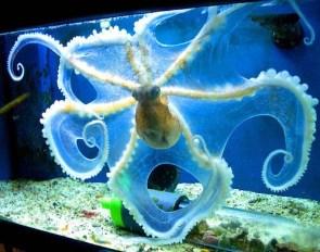 Octopus in a aquarium