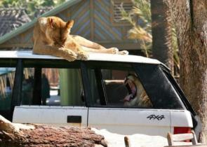 Lions On A Car