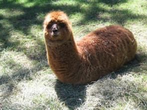 legless llama