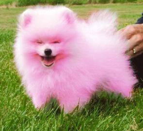 Pink Doggy