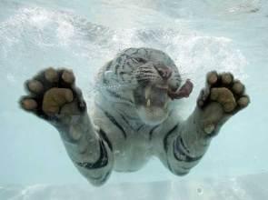 siberian-swimmer