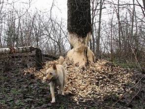 Beaver Dog