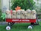 Cute Puppies in Red Wagon
