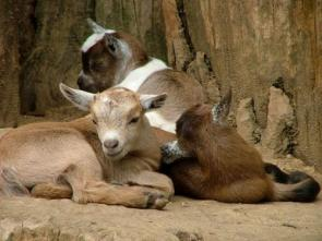 Group of goats