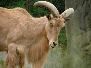 A Hairy Goat