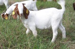 Sexy Short Goat