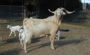Ivory Goat
