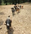 A Crowd of Goats