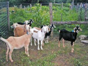 Goats Before the Fence of Temptation