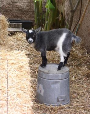Goat On A Bucket