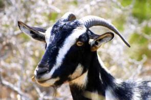 Striped Goat