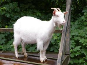 Albino Goat