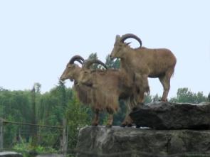 Hairy Goats on Rock Ledge