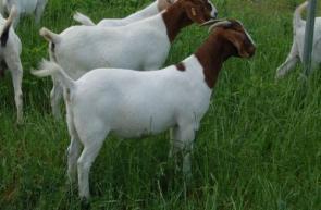 Goats in green green grass