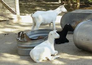 Goat Bath Time