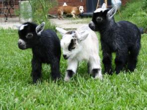 Goat Kidds