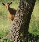 Peekaboo Goat