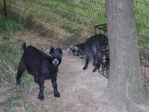Two Black Goats