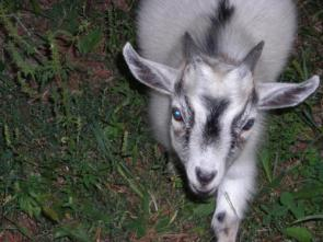 Cute White And Black Goat