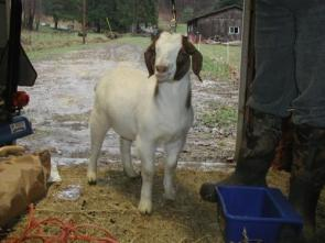 Twiga Boer Goat in doorway